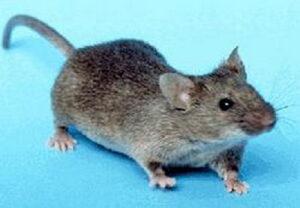 ratón doméstico (400x277)