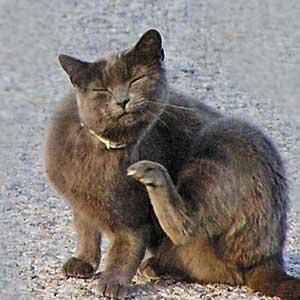 Gato con pulgas