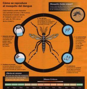 ciclo del dengue