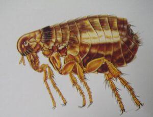 pulga del perro