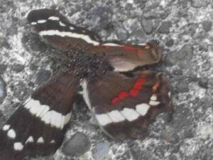 Hormigas devorando una mariposa