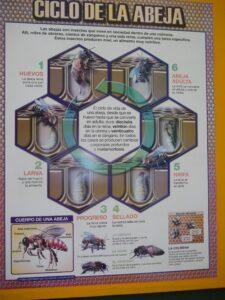 Ciclo de la abeja