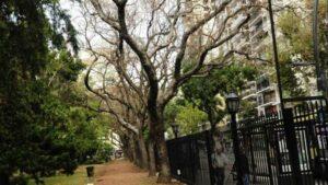 Botanico-ejemplares-enfermos-jacarandas-llenarse_CLAIMA20150416_0005_27