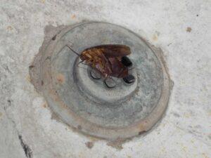 Cucarachas, americana, por Aunarsi